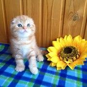 Питомник шотландских кошек продает котят